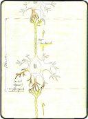 Neuron, Axon, Dendrit